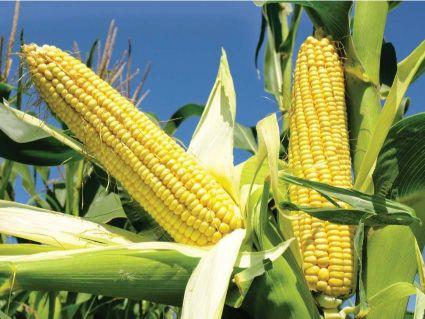 corn011219